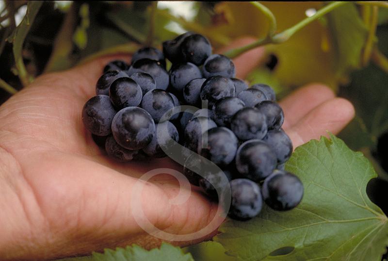 hands.grapes