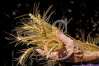 GSPwheat